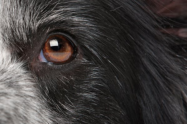 Iris Cysts in Dogs - Symptoms, Causes, Diagnosis, Treatment