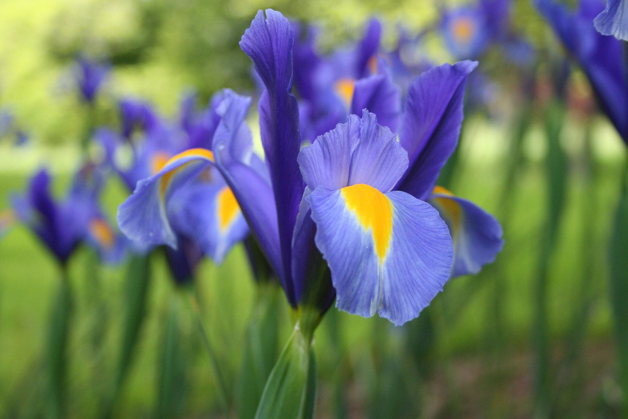 Iris Poisoning In Dogs Symptoms Causes Diagnosis Treatment