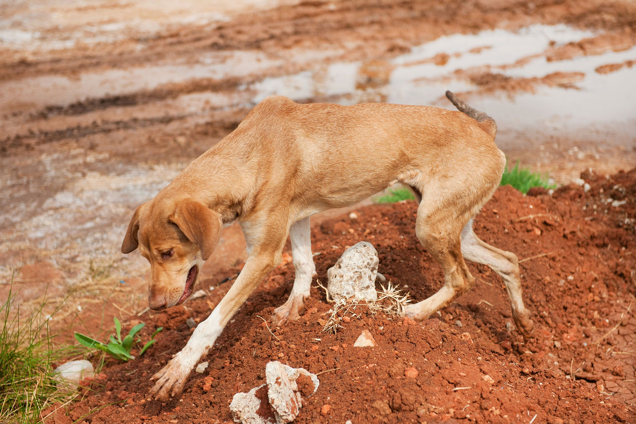 iron poisoning in dogs symptoms causes diagnosis treatment