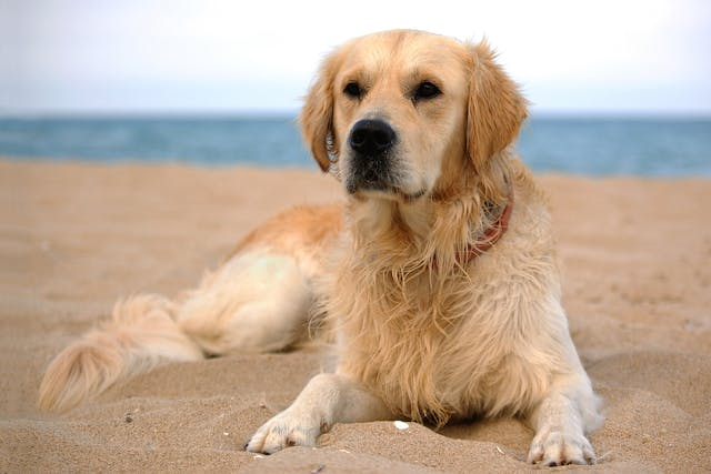 Isopropyl Alcohol (Isopropanol)  Poisoning in Dogs - Symptoms, Causes, Diagnosis, Treatment, Recovery, Management, Cost