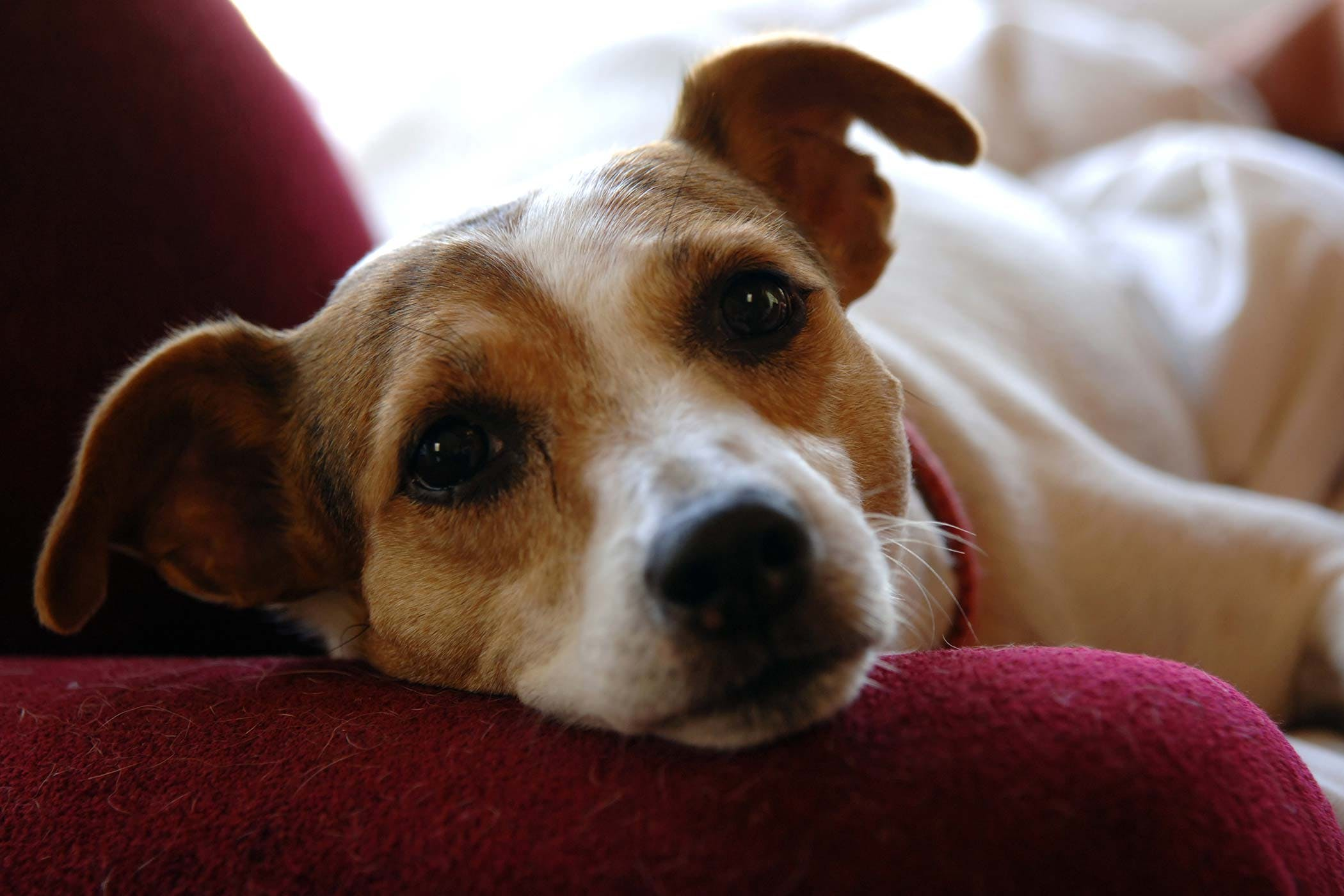 Jack Russell Terrier Allergies in Dogs - Symptoms, Causes