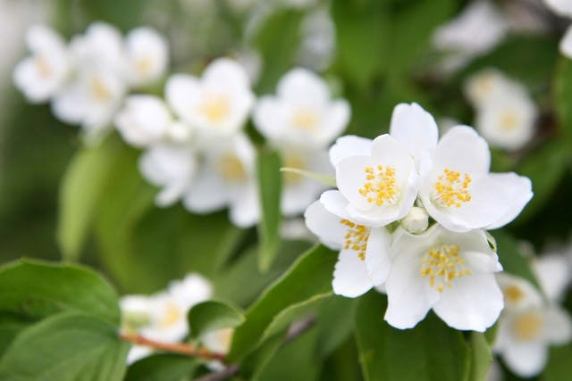 Jasmine Allergies in Dogs - Symptoms, Causes, Diagnosis, Treatment, Recovery, Management, Cost