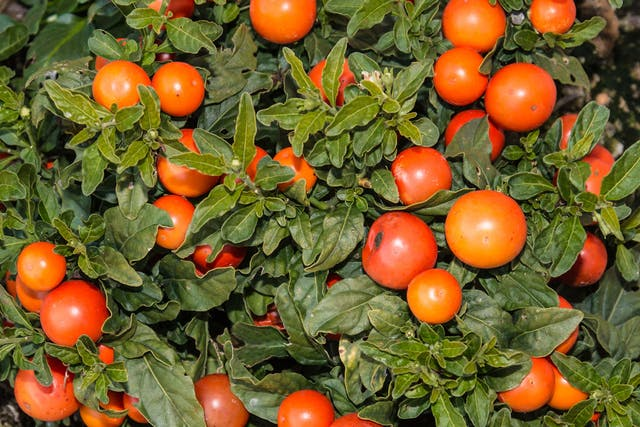 Jerusalem Cherry Poisoning in Dogs - Symptoms, Causes, Diagnosis, Treatment, Recovery, Management, Cost
