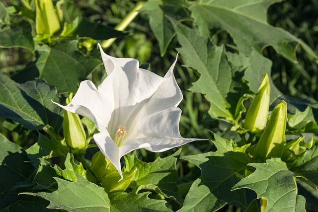 Jimson Weed Poisoning in Dogs - Symptoms, Causes, Diagnosis, Treatment, Recovery, Management, Cost