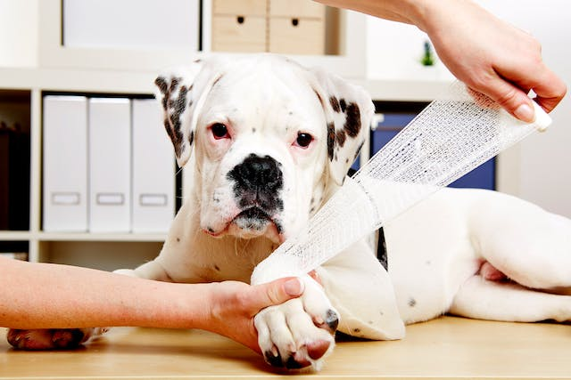 Joint Dislocation in Dogs - Symptoms, Causes, Diagnosis, Treatment, Recovery, Management, Cost