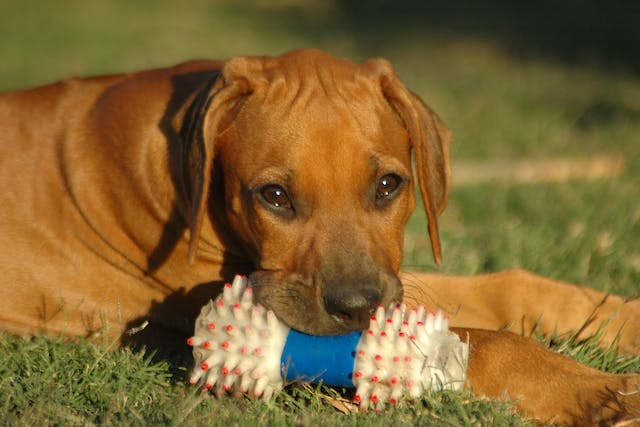 Joint Injury in Dogs - Symptoms, Causes, Diagnosis, Treatment, Recovery, Management, Cost