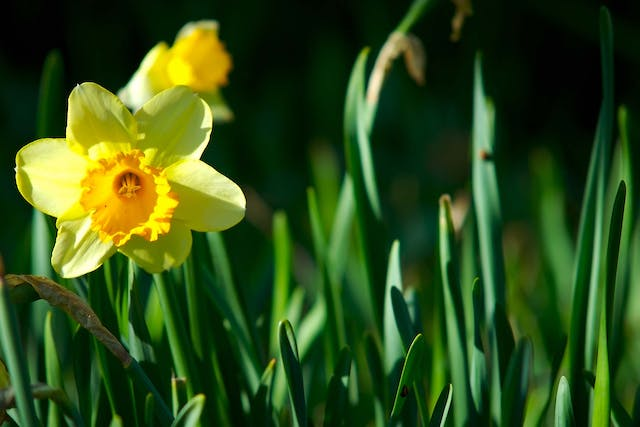 Jonquil Poisoning in Dogs - Symptoms, Causes, Diagnosis, Treatment, Recovery, Management, Cost