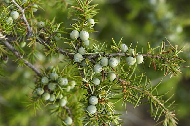 Juniper Allergies in Dogs - Symptoms, Causes, Diagnosis, Treatment, Recovery, Management, Cost
