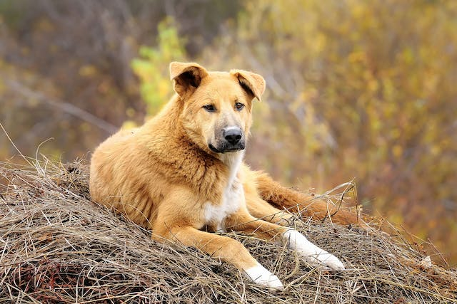 Juvenile Cellulitis in Dogs - Symptoms, Causes, Diagnosis, Treatment, Recovery, Management, Cost