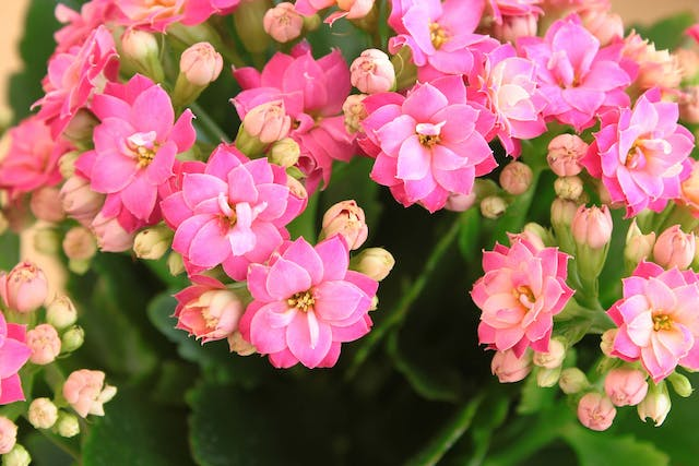Kalanchoe Poisoning in Dogs - Symptoms, Causes, Diagnosis, Treatment, Recovery, Management, Cost