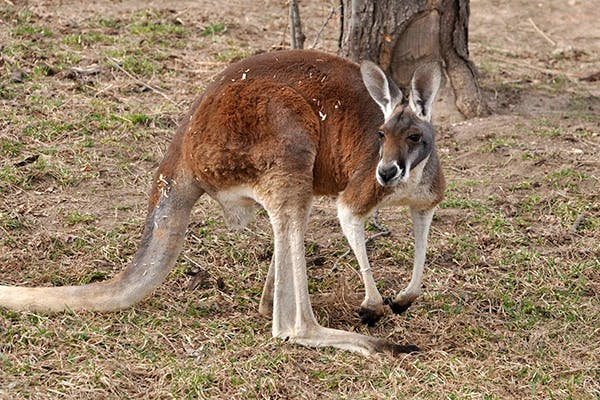 Kangaroo Meat Allergies in Dogs - Symptoms, Causes, Diagnosis, Treatment, Recovery, Management, Cost