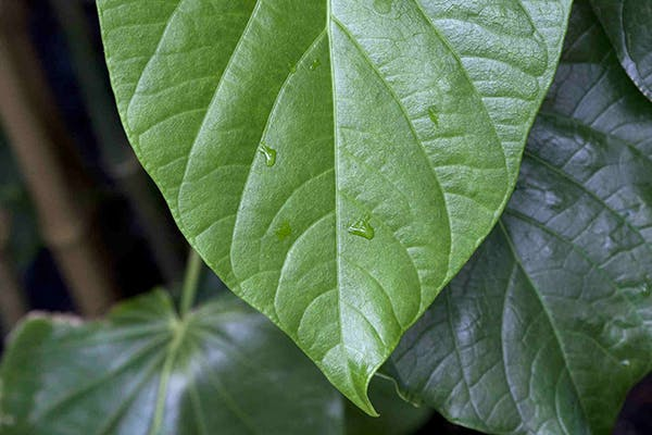 Kava Kava Toxicity in Dogs - Symptoms, Causes, Diagnosis, Treatment, Recovery, Management, Cost