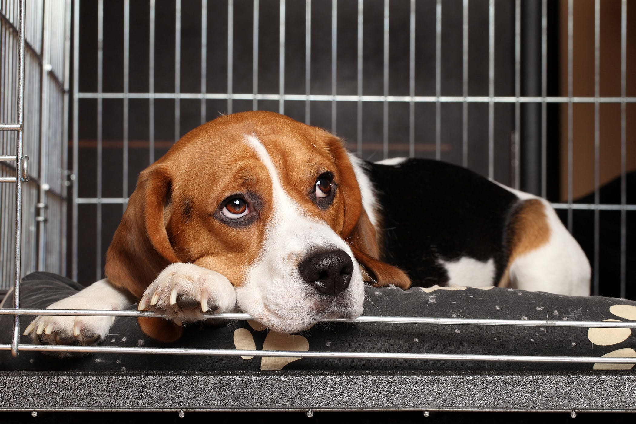 How to Treat Kennel Cough How to Treat Kennel Cough new picture