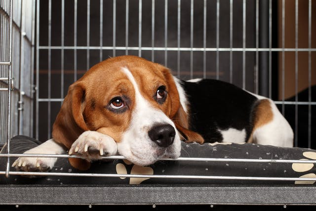 Kennel Cough in Dogs - Symptoms, Causes, Diagnosis, Treatment, Recovery, Management, Cost