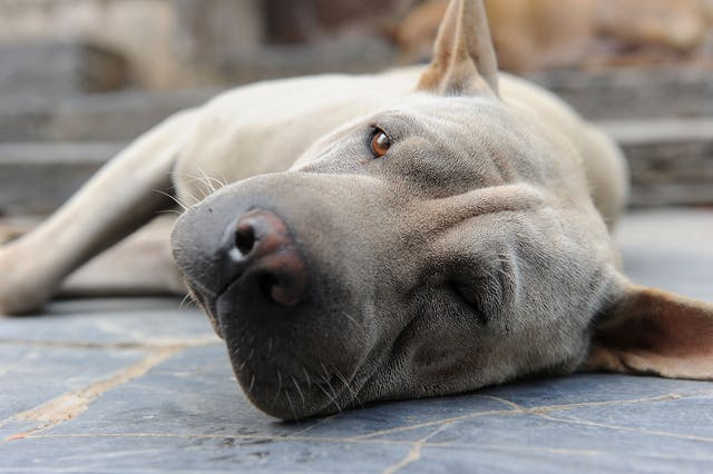 Kerosene Poisoning in Dogs - Symptoms, Causes, Diagnosis, Treatment, Recovery, Management, Cost