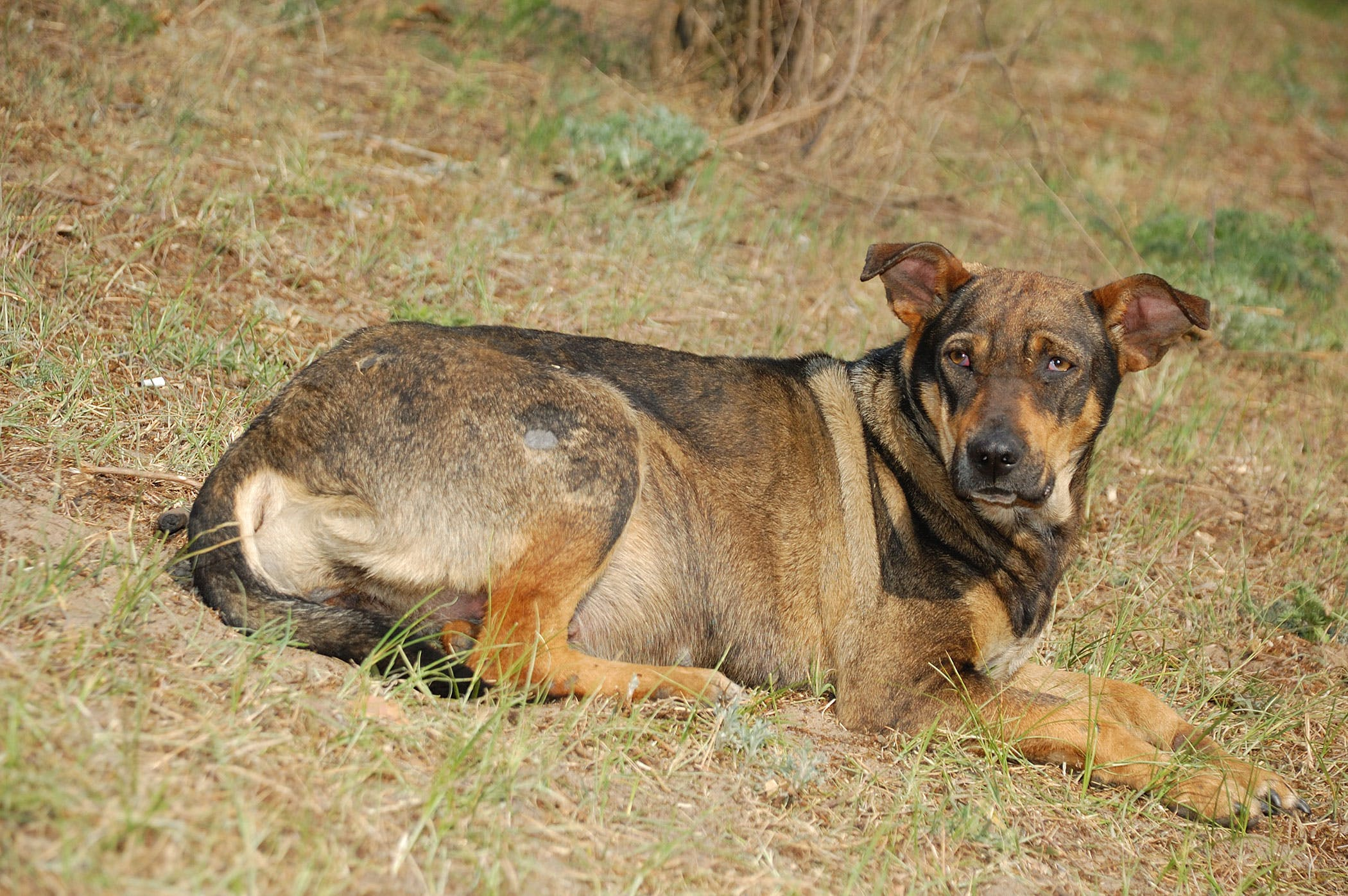 Kidney Disease Caused By Multiple Cysts in Dogs