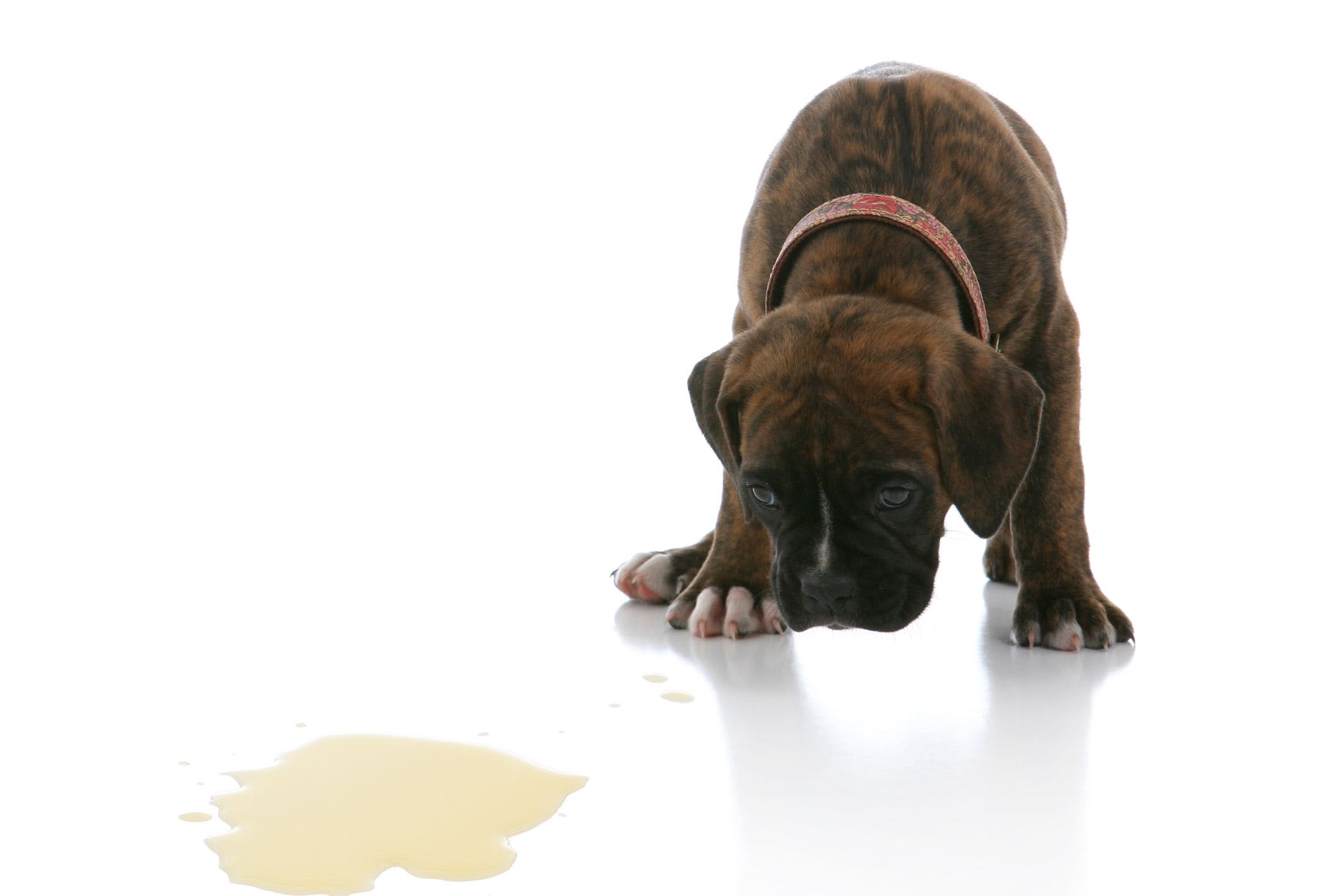 Kidney Disease in Dogs - Symptoms, Causes, Diagnosis, Treatment