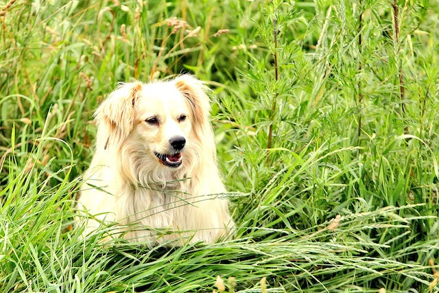 Kidney Failure and Excess Urea in the Urine in Dogs - Symptoms, Causes, Diagnosis, Treatment, Recovery, Management, Cost
