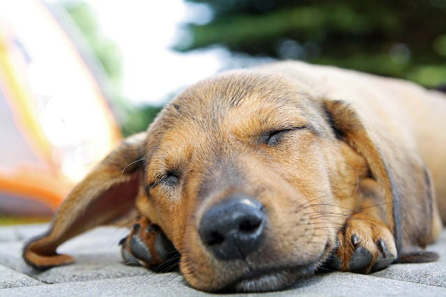 Kong Allergies in Dogs - Symptoms, Causes, Diagnosis, Treatment, Recovery, Management, Cost