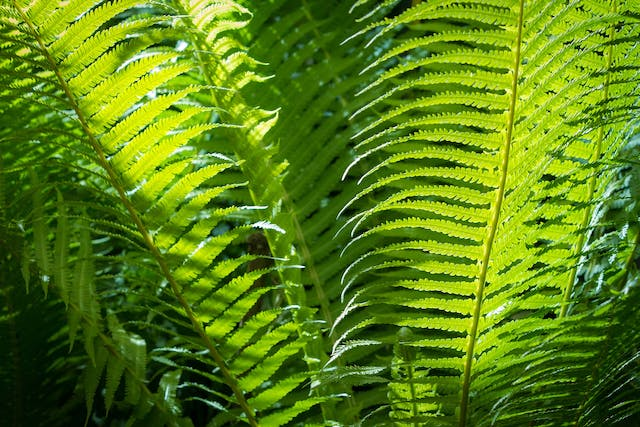 Lace Fern Poisoning in Dogs - Symptoms, Causes, Diagnosis, Treatment, Recovery, Management, Cost
