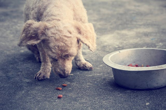 Lack of Absorption of Nutrients in Dogs - Symptoms, Causes, Diagnosis, Treatment, Recovery, Management, Cost