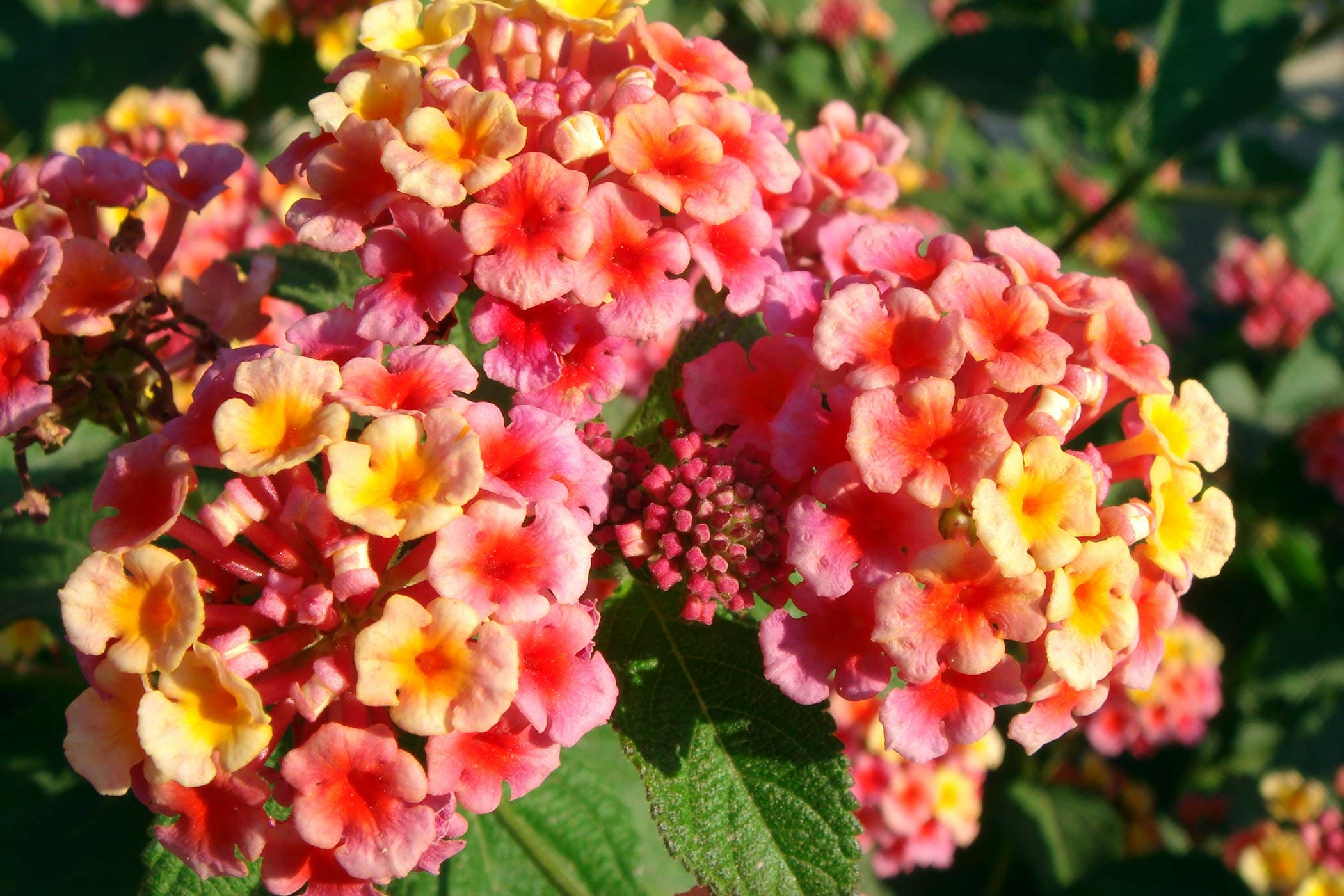 Lantana Poisoning In Dogs Symptoms Causes Diagnosis Treatment