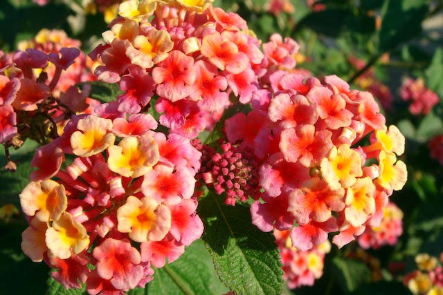 Lantana Poisoning in Dogs - Symptoms, Causes, Diagnosis, Treatment, Recovery, Management, Cost