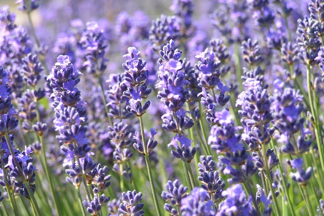 Lavender Allergies in Dogs - Symptoms, Causes, Diagnosis, Treatment, Recovery, Management, Cost