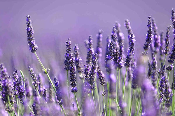Lavender Poisoning in Dogs - Symptoms, Causes, Diagnosis, Treatment, Recovery, Management, Cost