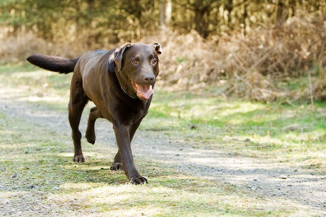 Legg-Calvé-Perthes Disease in Dogs - Symptoms, Causes, Diagnosis, Treatment, Recovery, Management, Cost
