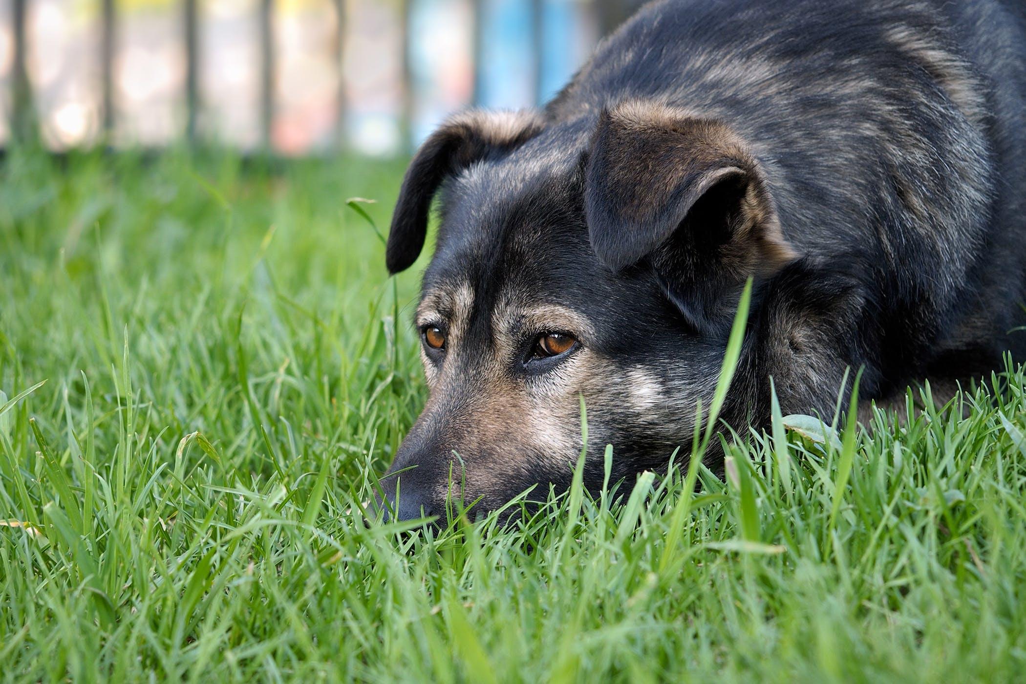 Leiomyosarcoma In Dogs Symptoms Causes Diagnosis Treatment