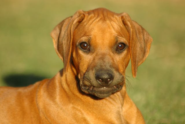 Lethal Acrodermatitis in Dogs - Symptoms, Causes, Diagnosis, Treatment, Recovery, Management, Cost