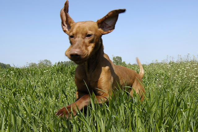 Listeria in Dogs - Symptoms, Causes, Diagnosis, Treatment, Recovery, Management, Cost