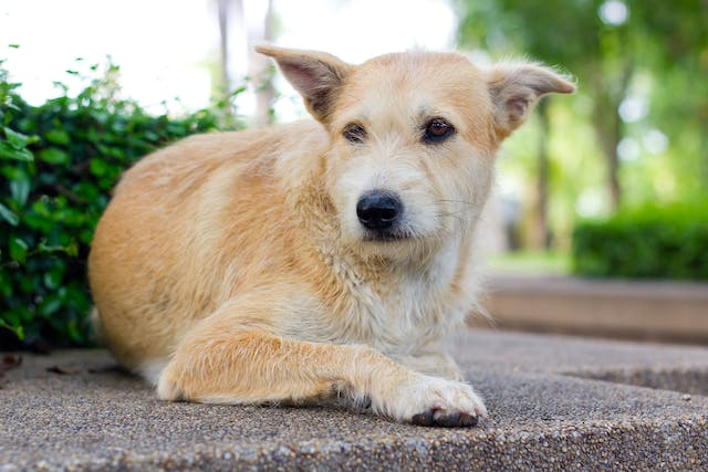 Liver Cancer (Hepatocellular Carcinoma) in Dogs - Symptoms, Causes, Diagnosis, Treatment, Recovery, Management, Cost