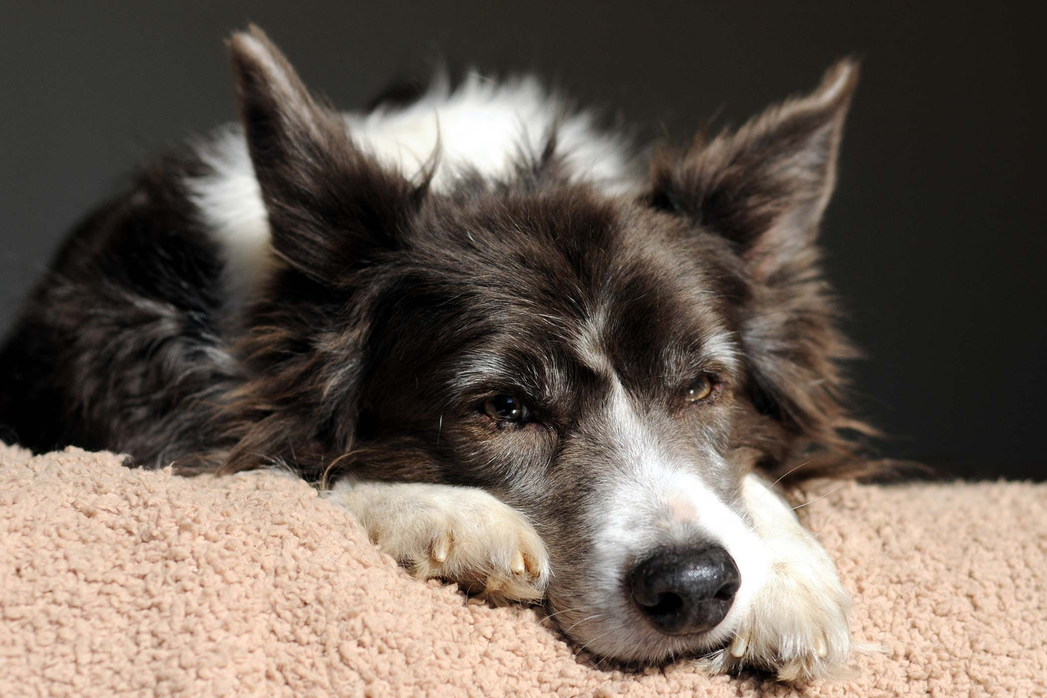 Liver Tumors (Mature Age Related) in Dogs