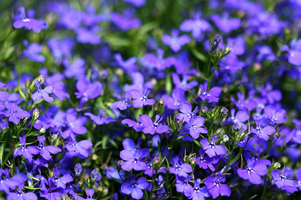 Lobelia Poisoning in Dogs - Symptoms, Causes, Diagnosis, Treatment, Recovery, Management, Cost