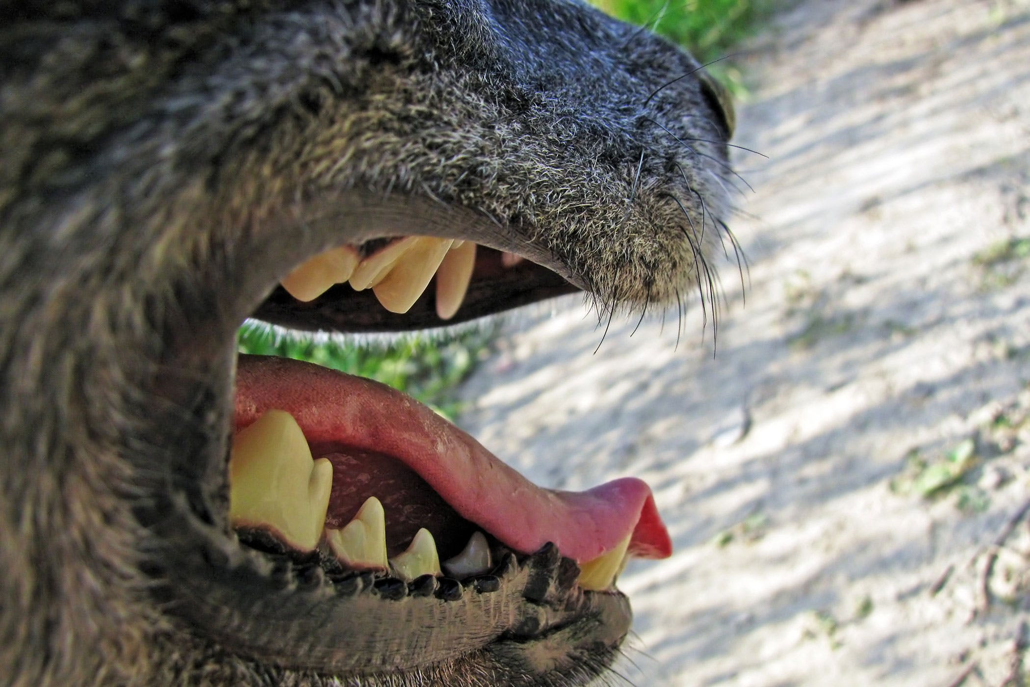 Lockjaw in Dogs - Symptoms, Causes, Diagnosis, Treatment, Recovery