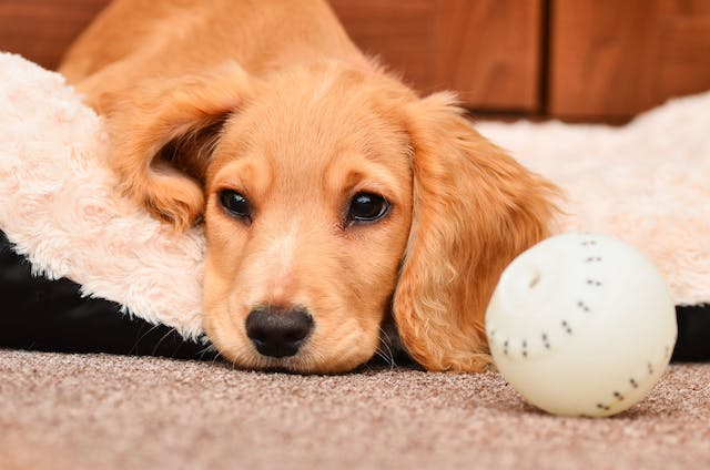 Long-acting Anticoagulants Poisoning in Dogs - Symptoms, Causes, Diagnosis, Treatment, Recovery, Management, Cost
