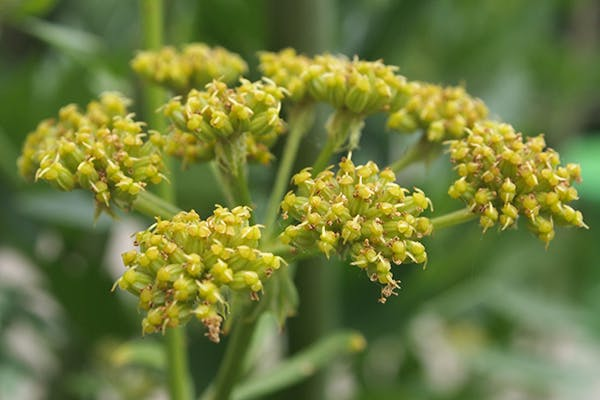 Lovage Poisoning in Dogs - Symptoms, Causes, Diagnosis, Treatment, Recovery, Management, Cost