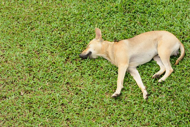 Low Blood Calcium in Dogs - Symptoms, Causes, Diagnosis, Treatment, Recovery, Management, Cost