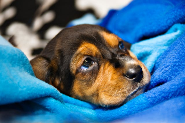 Low Body Temperature in Dogs - Symptoms, Causes, Diagnosis, Treatment, Recovery, Management, Cost