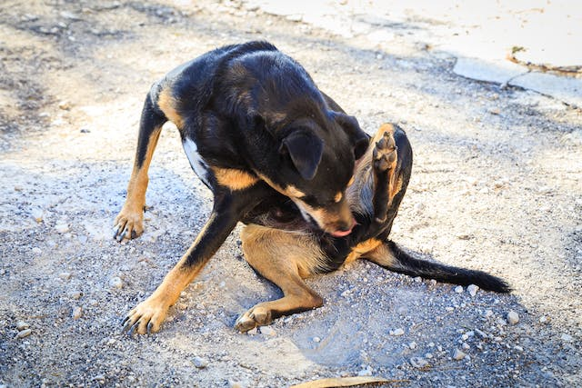 Lumbosacral Disease in Dogs - Symptoms, Causes, Diagnosis, Treatment, Recovery, Management, Cost