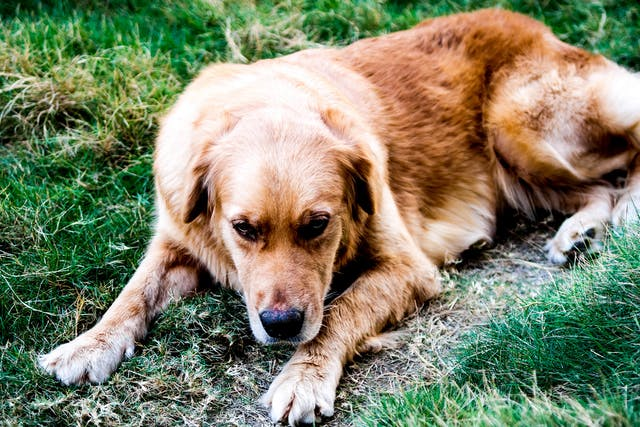Lumbosacral Stenosis (Cauda Equina Syndrome) in Dogs - Symptoms, Causes, Diagnosis, Treatment, Recovery, Management, Cost