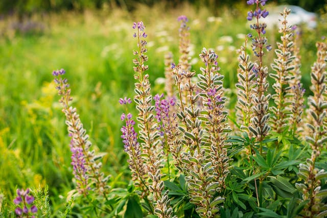 Lupine Poisoning in Dogs - Symptoms, Causes, Diagnosis, Treatment, Recovery, Management, Cost