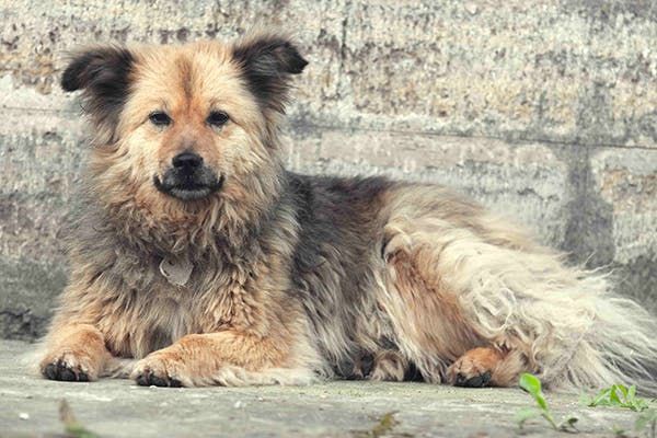 Lymphocytic Plasmacytic Enteritis in Dogs - Symptoms, Causes, Diagnosis, Treatment, Recovery, Management, Cost