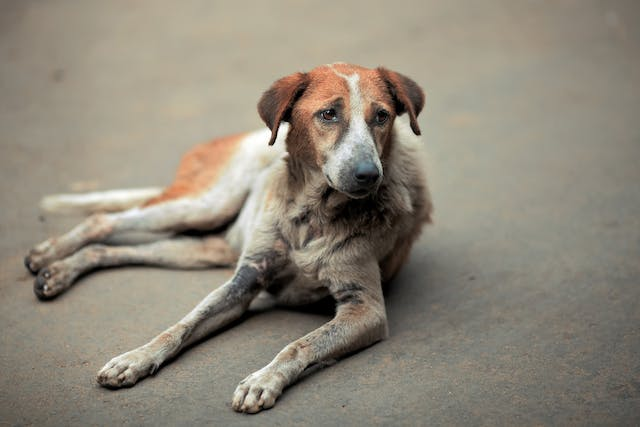 Lymphoid Leukemia in Dogs - Symptoms, Causes, Diagnosis, Treatment, Recovery, Management, Cost