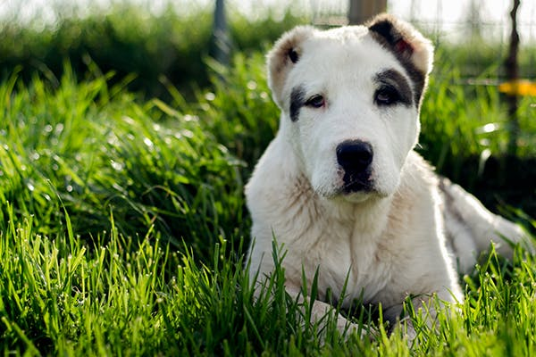 Macroglossia in Dogs