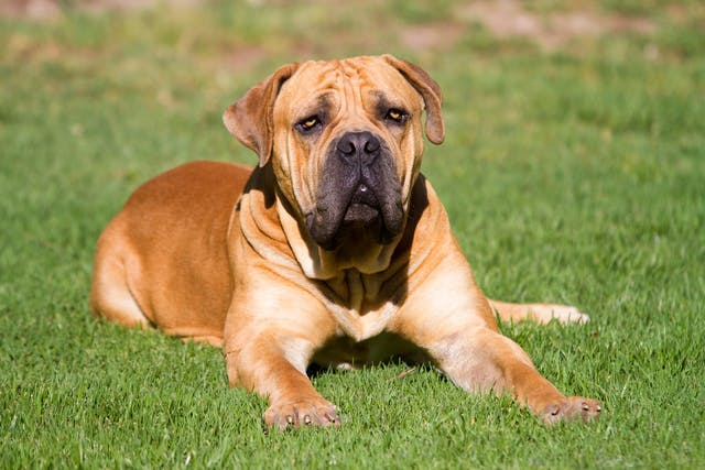 Malignant Histiocytosis in Dogs - Symptoms, Causes, Diagnosis, Treatment, Recovery, Management, Cost