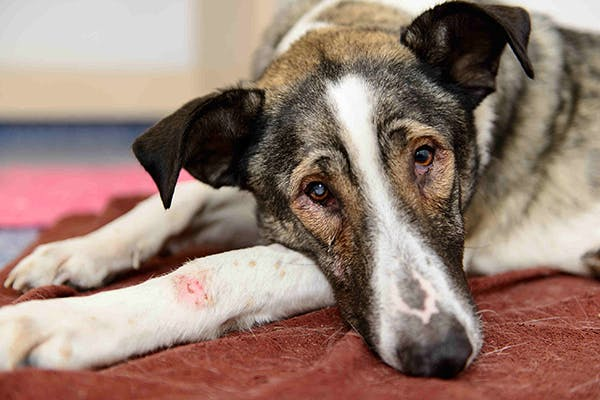 Malignant Hyperthermia in Dogs - Symptoms, Causes, Diagnosis, Treatment, Recovery, Management, Cost