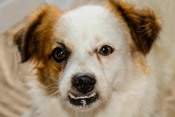 Malignant Melanoma in Dogs - Symptoms, Causes, Diagnosis, Treatment, Recovery, Management, Cost
